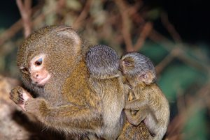 The Tiny But Mighty Finger Monkey