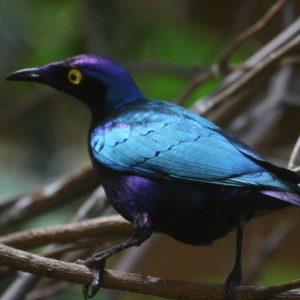 10 Striking Purple-colored Birds