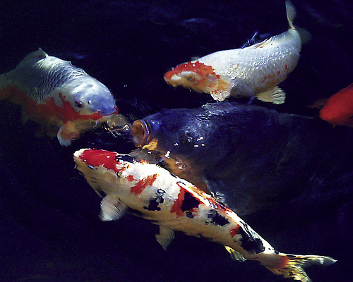 10 intriguing animals whose names start with the letter k for Koi carp names