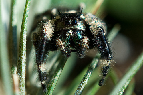 Colorful jumping spider - photo#34