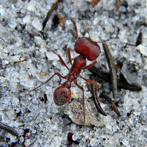 Harvester ants - photo#45