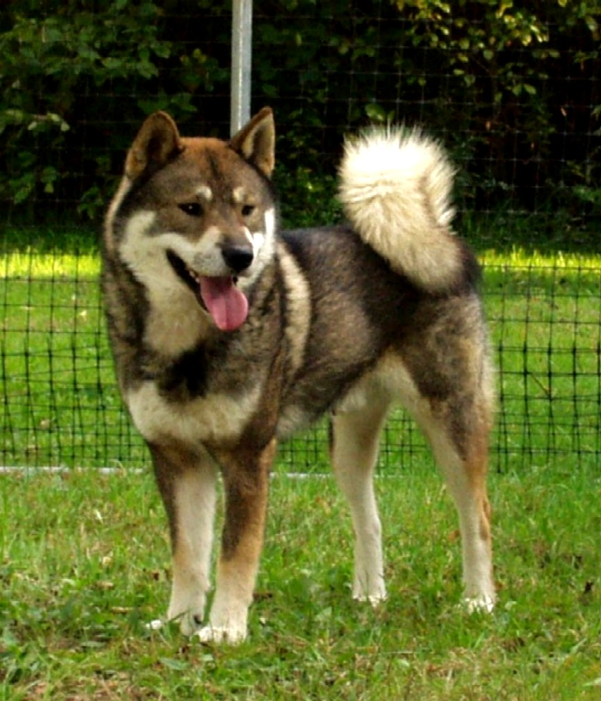 The Bold And Fearless Japanese Dog Breeds