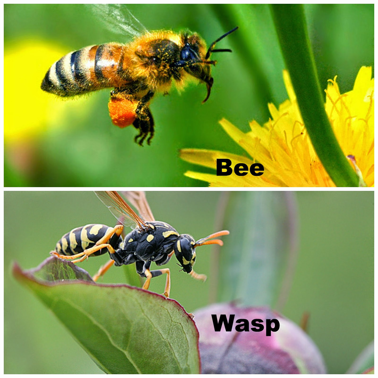 How to Get Rid of Bees: 15 Steps (with Pictures) - wikiHow Difference between bees and wasps pictures