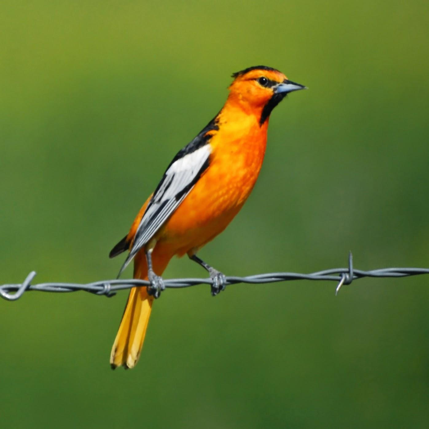10 Captivating Orange-colored Birds