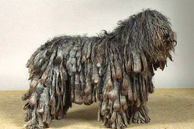 10 Most Funny Looking Dog Breeds