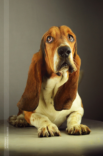 Basset Hound The Famous Hush Puppies