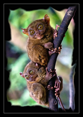 The Funny Looking Philippine Tarsier With Mesmerizing Eyes