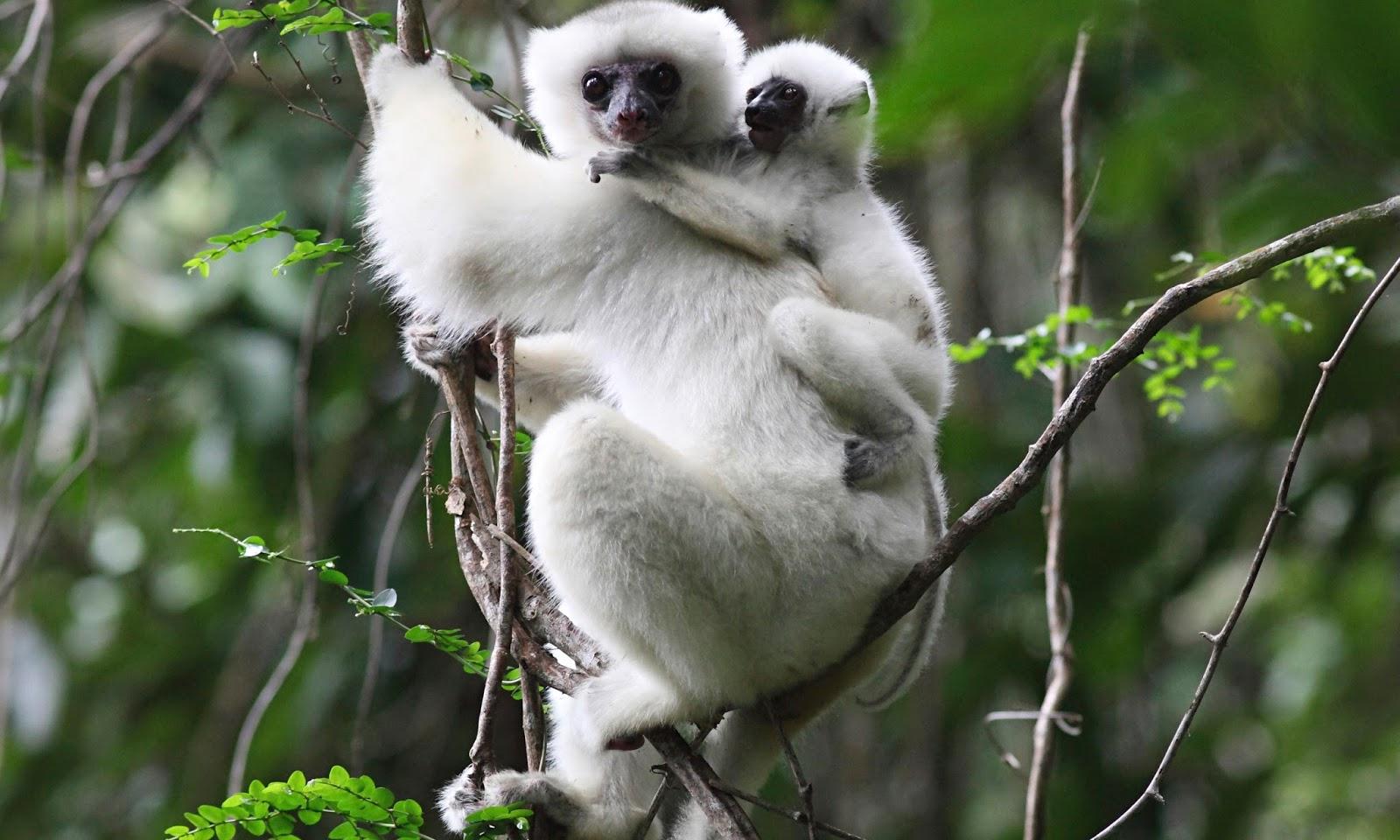 10 Endangered Lemurs of Madagascar - photo#17