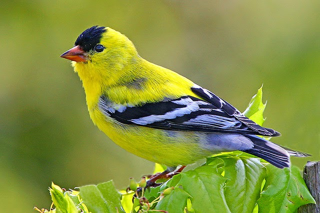 10 Eye Catching Yellow Colored Birds