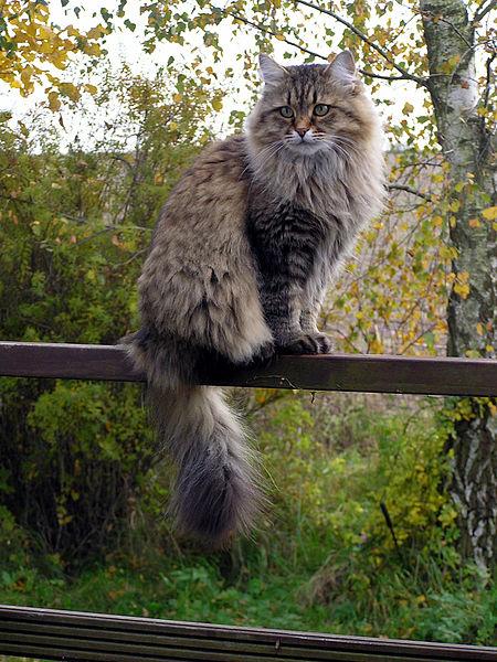 10 Beautiful Asian Cat Breeds
