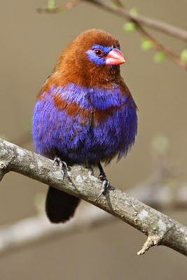 The Purple Grenar Uraeginthus Ianthinogaster Is Common And Widespread Throughout East Africa Species Found In Subtropical Tropical