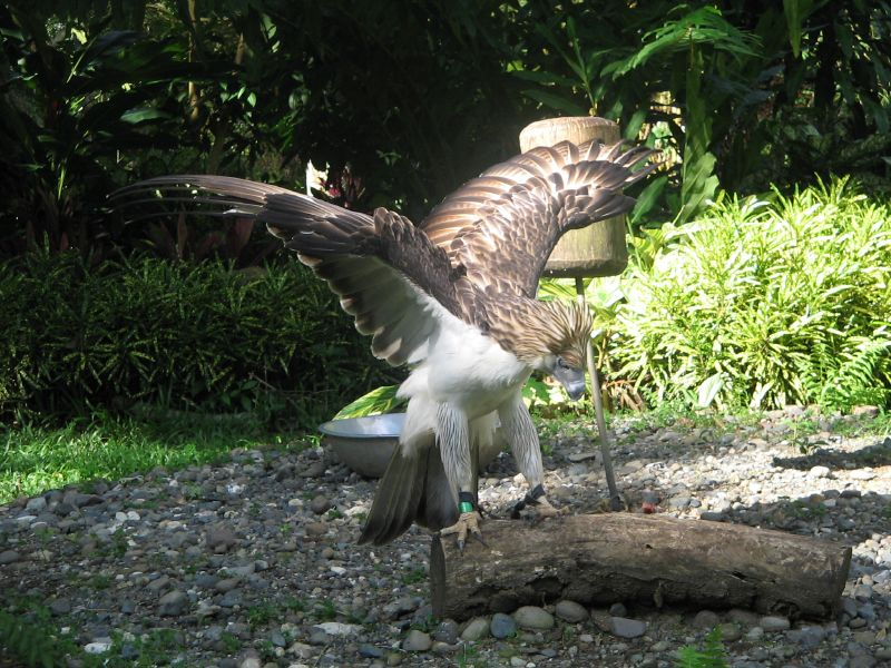 The Iconic Philippine Monkey Eating Eagle