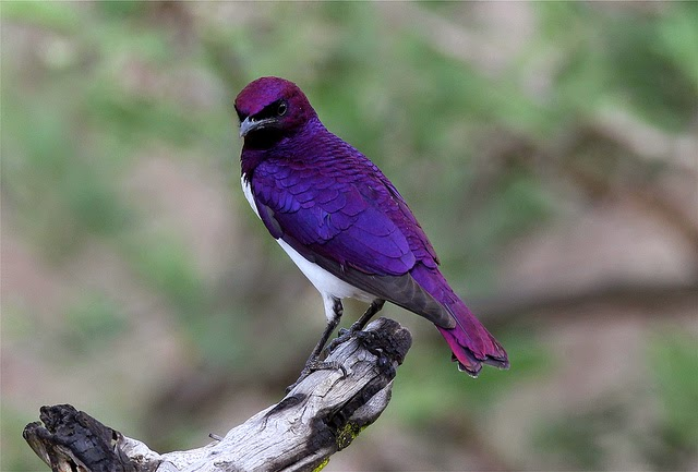 The Violet Backed Starling Cinnyricinclus Leucogaster Also Known As Plum Colored Or Amethyst Belongs To Family Of Birds