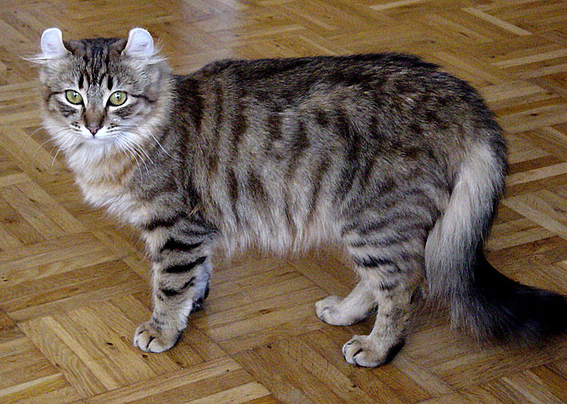 The American Curl Is A Breed Of Cat That Originated In Lakewood California It Was Result Natural Mutation As First Reported By Joe And Grace Raga