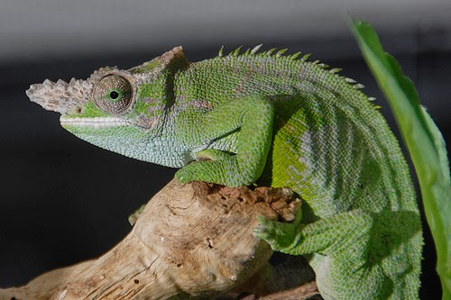 10 most popular chameleon as exotic pets the fischers chameleon chameleo fischeri is native to kenya and tanzania adults reaching 9 to 15 inches long these two horned reptiles are thecheapjerseys Images